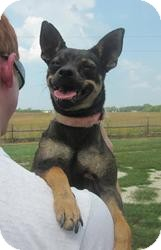 Chihuahua Mix Dog for adoption in Medora, Indiana - Queenie