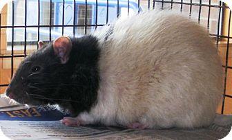 Rat for adoption in Bellingham, Washington - Gaucho