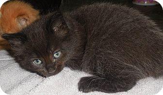 Domestic Shorthair Kitten for adoption in Rochester, Minnesota - Remley