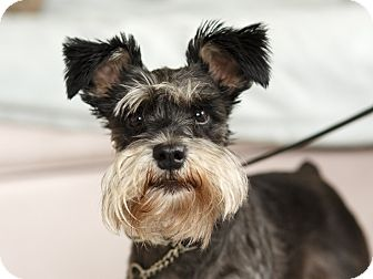 Miniature Schnauzer Dog for adoption in Rigaud, Quebec - Peaches