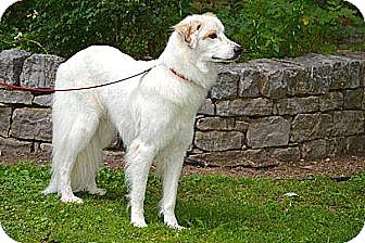 Great Pyrenees Mix Dog for adoption in Salem, New Hampshire - OWEN