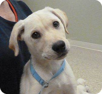 Labrador Retriever Mix Puppy for adoption in Hastings, Nebraska - Gerring