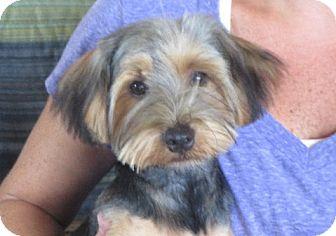 Yorkie, Yorkshire Terrier Puppy for adoption in Westport, Connecticut - Remus