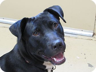 Labrador Retriever/Flat-Coated Retriever Mix Dog for adoption in MILWAUKEE, Wisconsin - ADDISON
