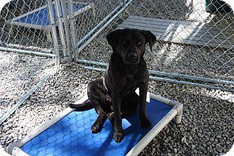 Labrador Retriever Mix Puppy for adoption in Henderson, North Carolina - Diamond