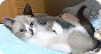 Snowshoe Kitten for adoption in Davis, California - JuJu Bee