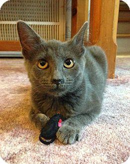 Russian Blue Cat for adoption in Huntsville, Alabama - Ripley