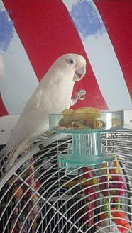 Cockatoo for adoption in Glens Falls, New York - Mya