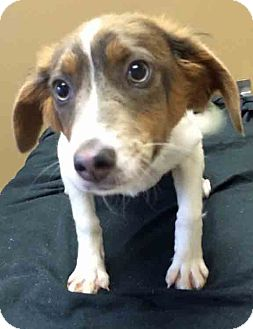 Wirehaired Fox Terrier/Jack Russell Terrier Mix Puppy for adoption in Gahanna, Ohio - ADOPTED!!!   Peach
