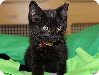 Domestic Mediumhair Kitten for adoption in Las Vegas, Nevada - MR. SHIVER