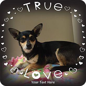 Dachshund/Miniature Pinscher Mix Dog for adoption in Snyder, Texas - Jentri