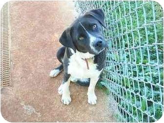 American Bulldog Mix Dog for adoption in Greenville, Alabama - Rex