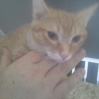 Domestic Shorthair Kitten for adoption in Columbus, Ohio - Woodstock