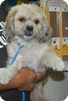 Shih Tzu Mix Dog for adoption in Brooklyn, New York - Hawk
