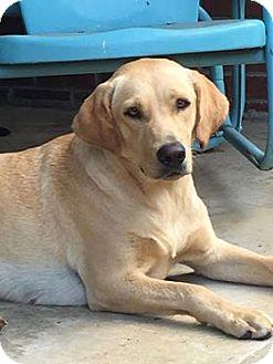 Labrador Retriever Dog for adoption in Huntsville, Alabama - Hallie