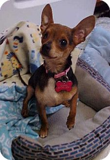 Chihuahua Dog for adoption in Dahlgren, Virginia - Smokey Joe- 6 lbs