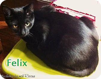 Domestic Shorthair Kitten for adoption in Huntsville, Ontario - Felix - Adopted December 2016