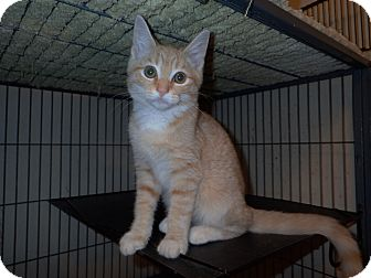 Domestic Shorthair Kitten for adoption in North Wilkesboro, North Carolina - Toby