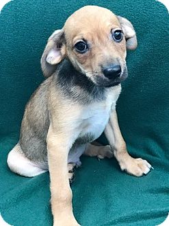 Chihuahua Mix Puppy for adoption in Watauga, Texas - MILO