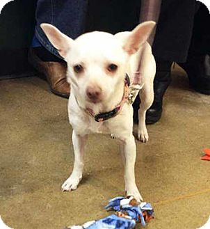 Chihuahua Mix Dog for adoption in South Bend, Indiana - Sugar
