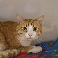 Adopt A Pet :: Tommy - Lincoln, NE