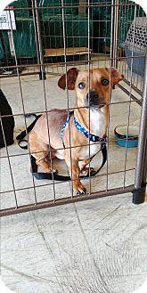 Dachshund Mix Dog for adoption in Floral City, Florida - Blaze