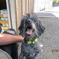 Adopt A Pet :: Trixie - Tillamook, OR