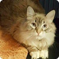 Adopt A Pet :: Sheba - Davis, CA