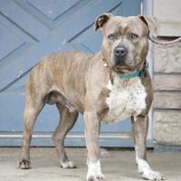 Adopt A Pet :: Drake - Fresno, CA