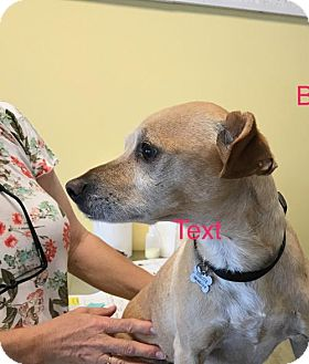 Terrier (Unknown Type, Medium)/Chihuahua Mix Dog for adoption in Chico, California - Butch
