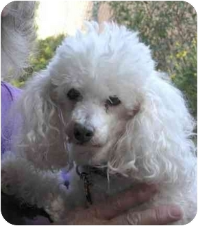 Poodle (Miniature) Dog for adoption in Rolling Hills Estates, California - Chloe