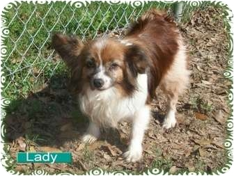 Papillon Mix Dog for adoption in Ozark, Alabama - Lady