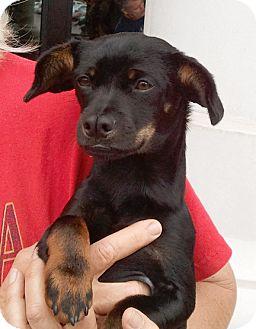 Dachshund Mix Puppy for adoption in El Segundo, California - Kobe