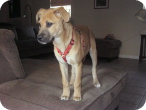 Shepherd (Unknown Type)/Boxer Mix Puppy for adoption in Marlton, New Jersey - Baby Abby
