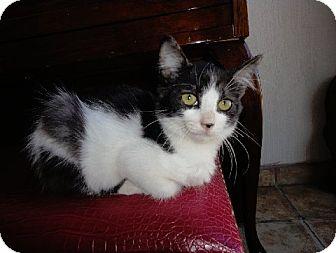 Domestic Mediumhair Kitten for adoption in Pasadena, California - BONNIE Must see video!