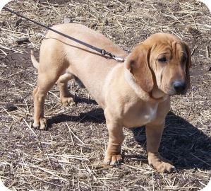 Basset Hound/Shar Pei Mix Dog for adoption in Larned, Kansas - Izzy