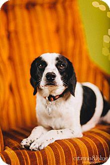 Beagle/English Springer Spaniel Mix Dog for adoption in Portland, Oregon - Oreo