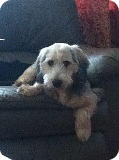 "Schnauzer (Miniature)/Terrier (Unknown Type, Small) Mix Dog for adoption in Nashville, Tennessee - Benton 'Benny"""