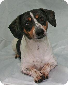 Dachshund Mix Dog for adoption in Lufkin, Texas - Howie