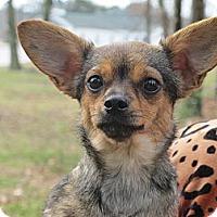 Adopt A Pet :: Penelope Pea - Brattleboro, VT