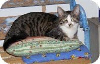 Domestic Shorthair Cat for adoption in Ashland, Ohio - Adolph