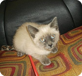 Siamese Kitten for adoption in Morristown, Tennessee - Blue Eyes