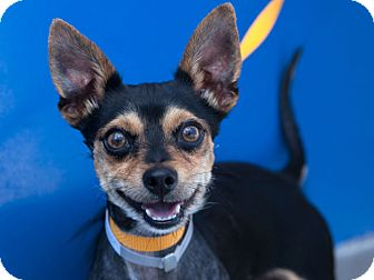Chihuahua Mix Dog for adoption in Pico Rivera, California - Bobby