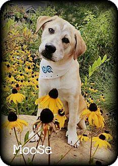 Labrador Retriever/Beagle Mix Dog for adoption in Walker, Louisiana - Moose