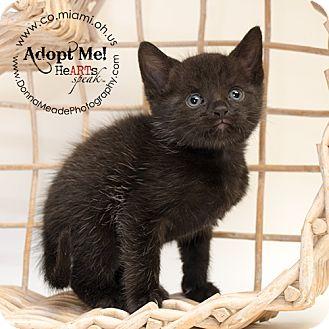 Domestic Shorthair Kitten for adoption in Troy, Ohio - Gertie