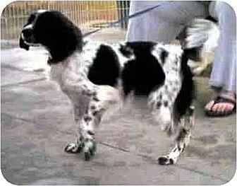 Cocker Spaniel/Spaniel (Unknown Type) Mix Dog for adoption in Downey, California - Meagan