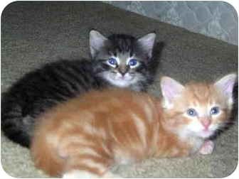 Maine Coon Kitten for adoption in Colorado Springs, Colorado - Indy