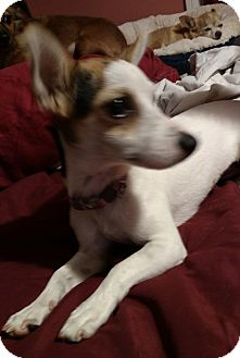 Jack Russell Terrier Mix Dog for adoption in San Diego, California - Pixie