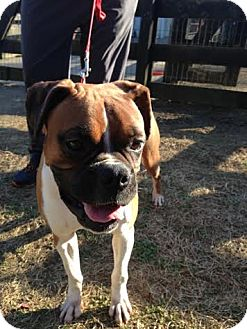 Boxer Dog for adoption in Brentwood, Tennessee - Kota