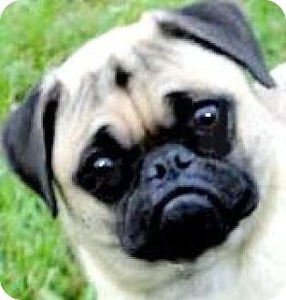 Pug Dog for adoption in Wakefield, Rhode Island - PING(BEYOND ADORABLE!!!